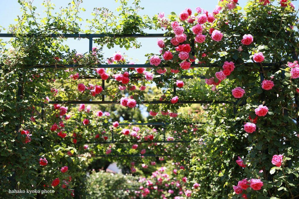つるバラの庭